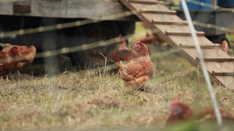 Chickens are seen on a farm through barbed wire Footage