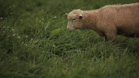 Sheep grazing in the fields Stock Video Footage