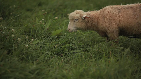 Sheep grazing in the fields Footage