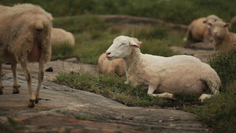 A shorn sheared sheep sits in the fields Footage