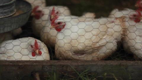 Hens in pens Stock Video Footage