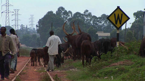 Medium shot of men herding cattle along a railroad track... Stock Video Footage