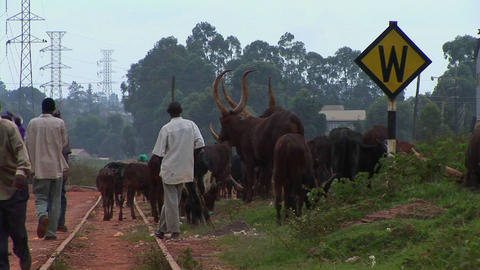 Medium shot of men herding cattle along a railroad track on the outskirts of Kampala, Uganda Footage