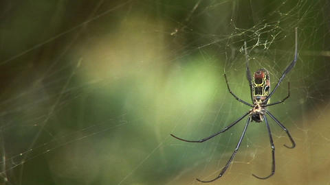 Rack focus of a spider as it hangs in its web Footage