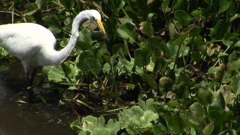 A heron in a Florida swamp catches a fish in its beak Stock Video Footage