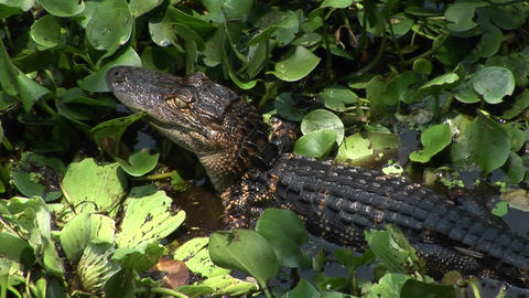 A baby alligator moves across a Florida Everglades swamp Stock Video Footage