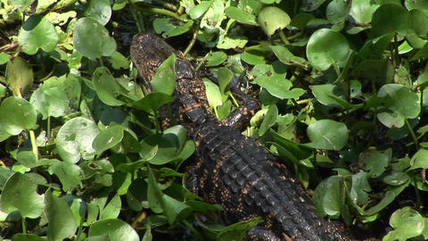 A baby alligator moves across a Florida Everglades swamp Footage