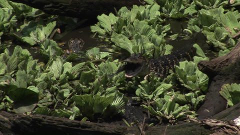 A baby alligator eats a fish in a Florida Everglades swamp Stock Video Footage