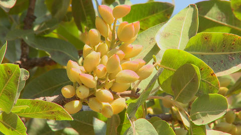 Pistachios grown in an orchard Stock Video Footage