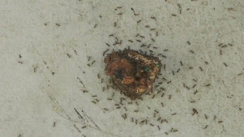 Time lapse of ants attacking a piece of food Stock Video Footage