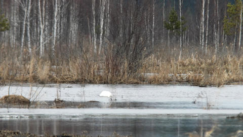 Swan in the distance. Russia Footage