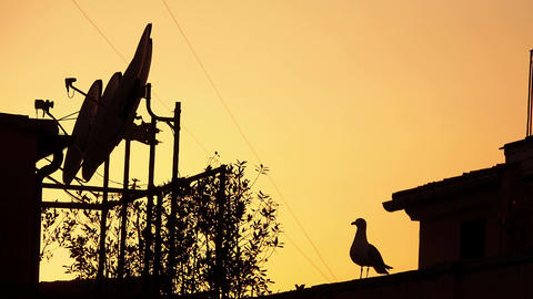 seagull on the roof at sunset Footage