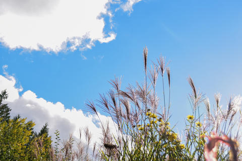 Some pampas grasses in the foreground and the sky and some clouds in the background Fotografía