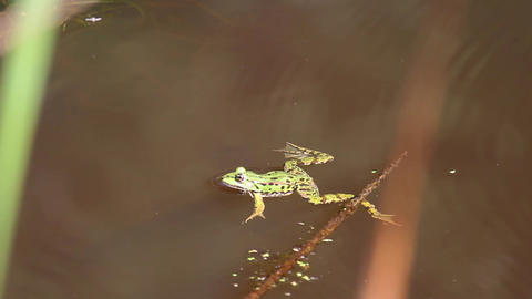 Portrait of green water frog, Pelophylax esculentus swimming in water Live Action