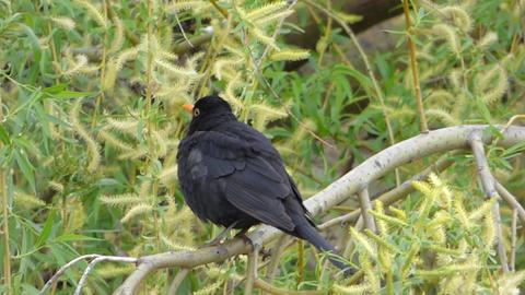 Blackbird sitting on tree branch Footage