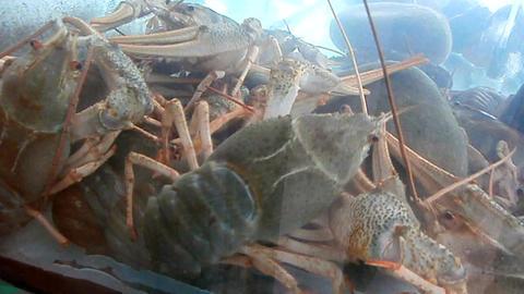 Crawfish in aquarium Footage