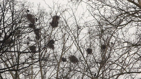 Crows in nests on tree Footage