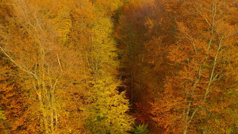Flight through the trees and rise over yellow autumn forest Live Action