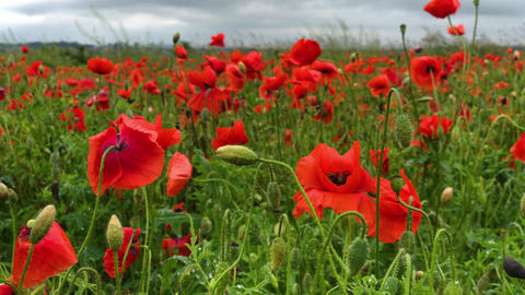 Wild poppy field, beautiful summer rural landscape. Blooming bright red flowers Live Action