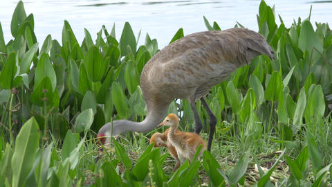 Two Sandhill Crane Chicks Stand in Nest While Mother Rebuilds, 4K Footage