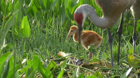 Sandhill Crane Chick Watches Sibling as Mother Rebuilds Nest, 4K Footage