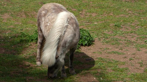 Grazing light brown pony Footage