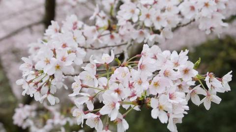 Spring Cherry tree 5 Filmmaterial