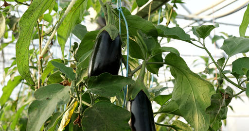 Eggplants grow in a greenhouse Live Action