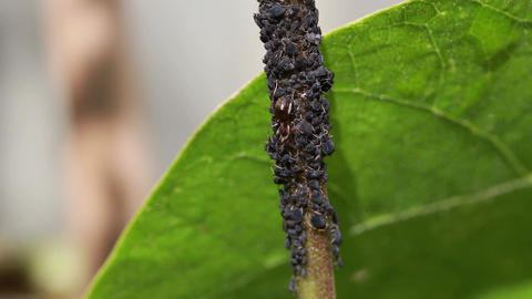Black bean aphids and black ants on the stem of a green bean plant Live Action