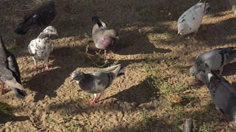 background texture of birds of pigeons who eat grains in urban dusty land Live Action