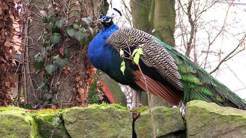 Peacock bird, peafowl bird Footage