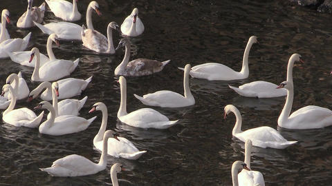 Flock of Migrating Mute Swans Footage