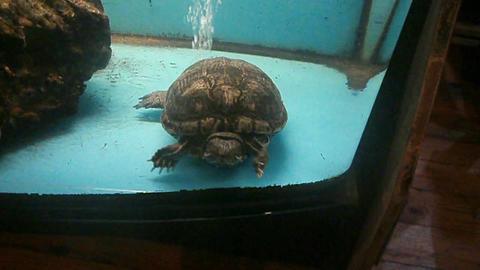 Turtle in aquarium Footage