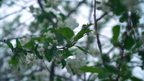 Apple Blossoming Branch in spring White Blossom. Spring concept Live Action