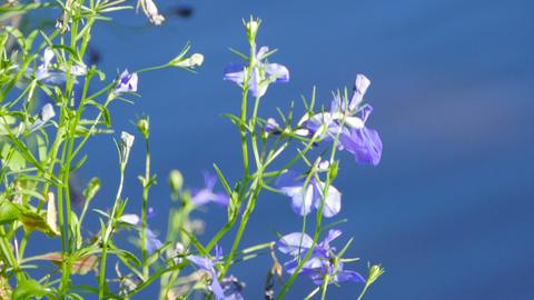 blue abelia flowers on a blue background Live Action