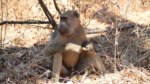 Baboon (Papio anubis) Footage