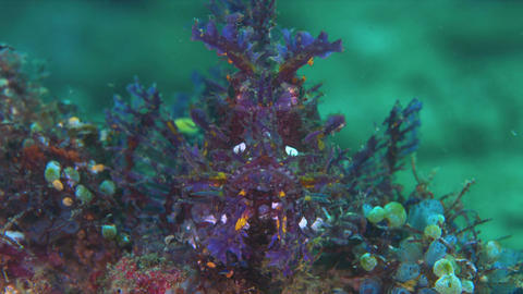 Weedy Scorpionfish - the Rhinopia Footage
