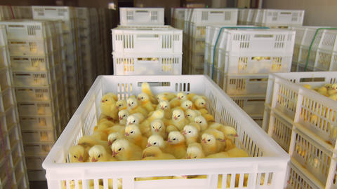 Poultry and chicken breeding. Little chickens in containers for transportation Live Action