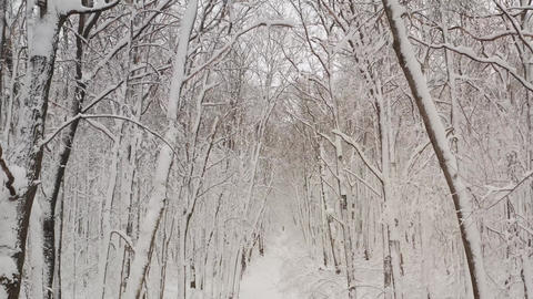 Birch forest in the snow. getting through winter forest trees. Inside there is a Live Action