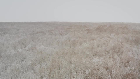Birch forest in the snow. getting through winter forest trees. Inside there is a ライブ動画