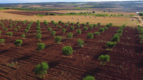 Olive plantations and agricultural field with harvested bales of wheat. Aerial view Live Action