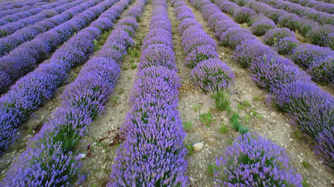 Lavender plantations on agricultural field. Beautiful lavender plants with purple flowers on field. Live Action