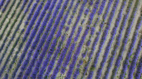 Aerial view of lavender plantation planted in a rows on agricultural field Live Action