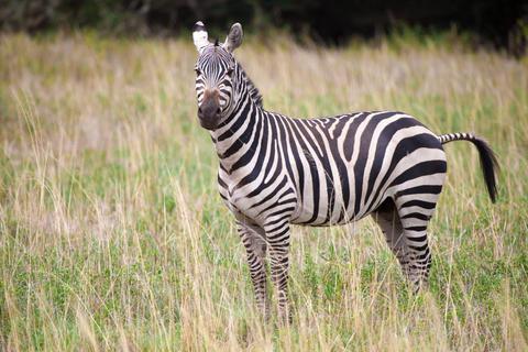 Zebra standing in the grassland in Kenya Fotografía