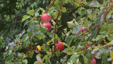 Red apples hang on a branch in the garden and swing in the rain. Fruit harvest in the garden, sun Live Action