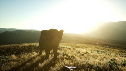 old african elephant walking in savannah against sunset GIF