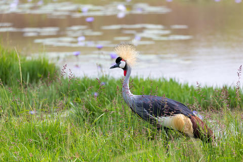 A gray-necked crowned crane stands on the bank of a river Fotografía