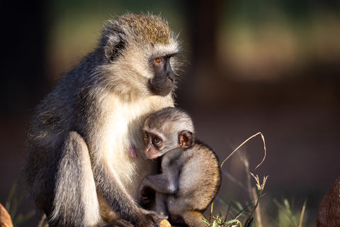 A small monkey is sitting with his mother in the grass Fotografía