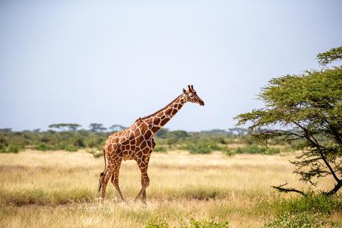 Somalia giraffes eat the leaves of acacia trees Fotografía