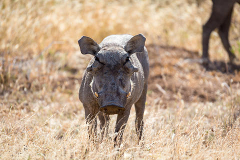 A portrait of a warthog in the middle of a grass landscape Fotografía
